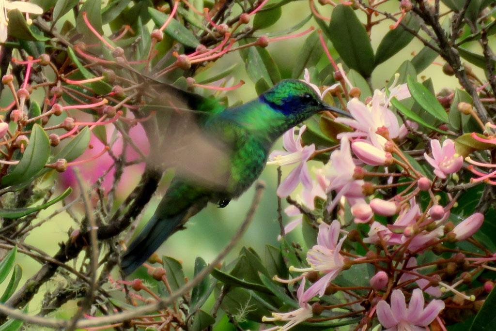 kolibřík na Machu Picchu