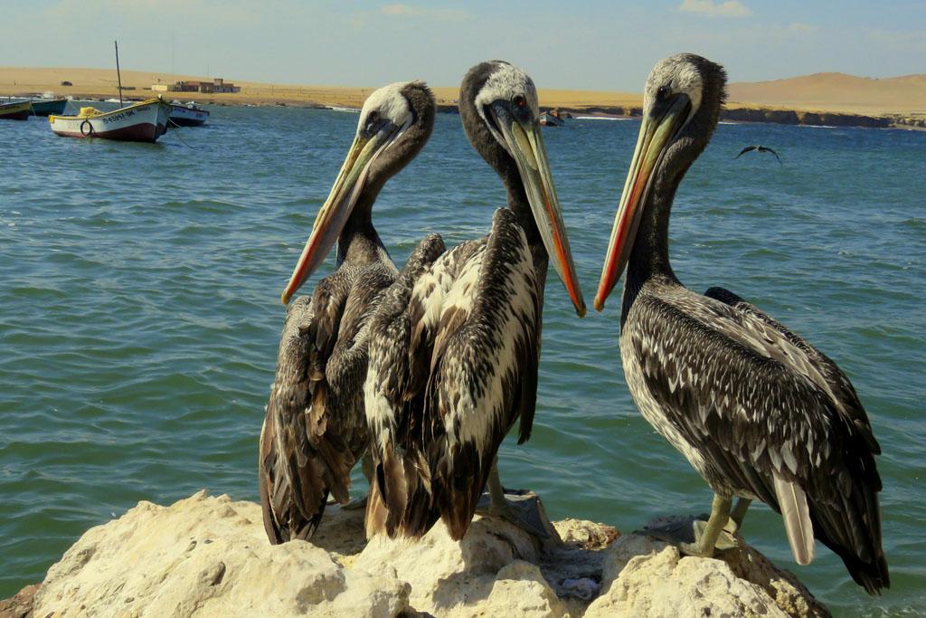 pelikáni na poradě před vzletem