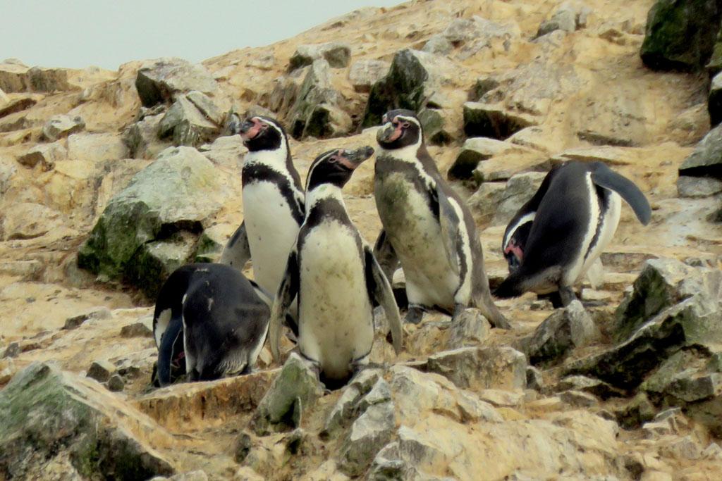 Humboldtův tučňák