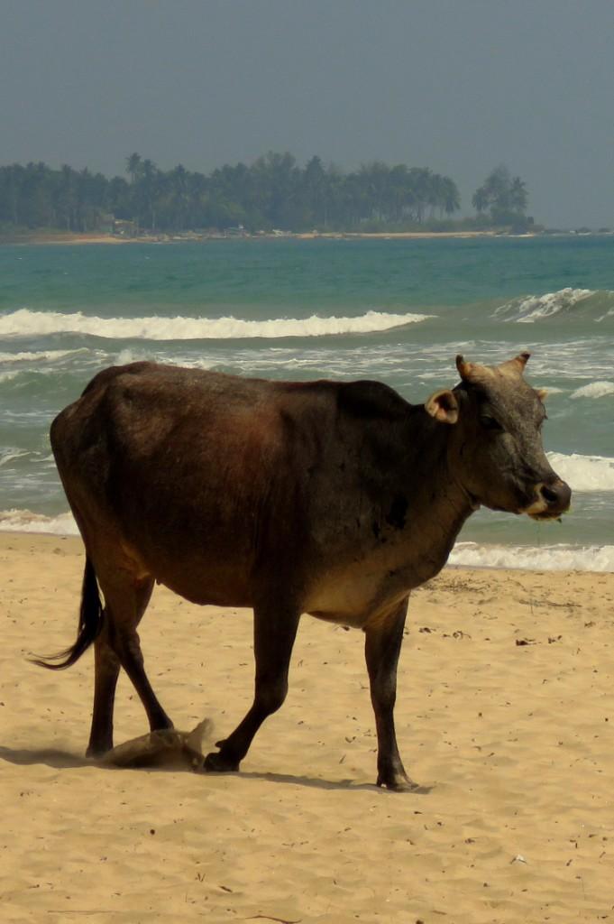 kráva na pláži