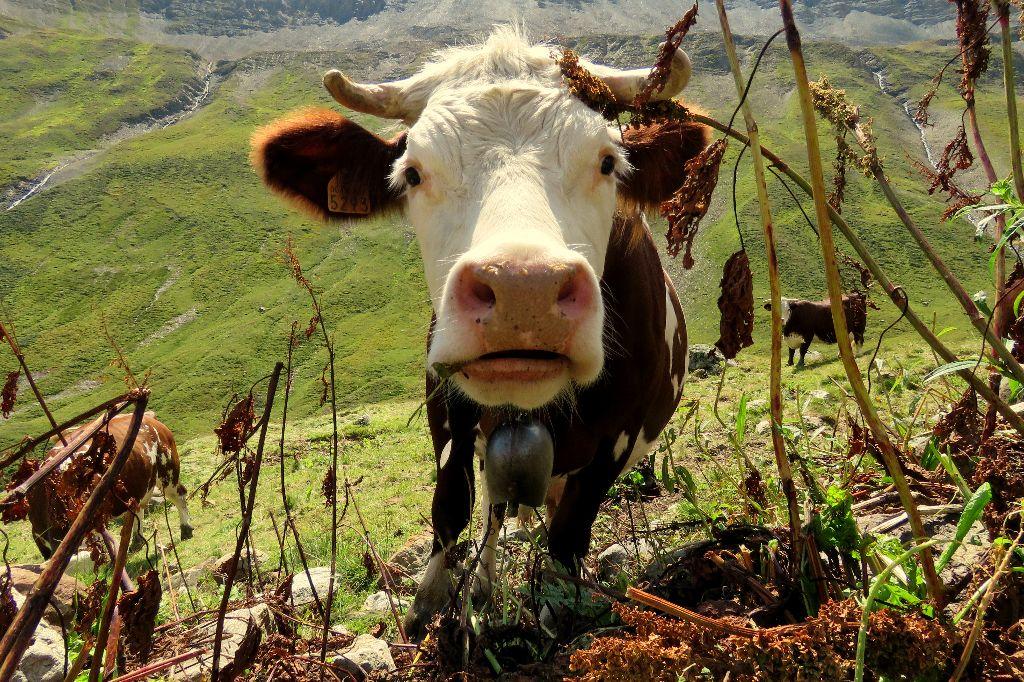 fotogenické krávy