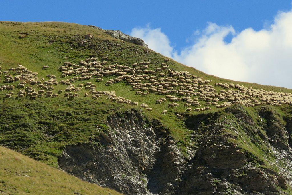 fotogenické ovce